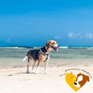 Beagle obesek